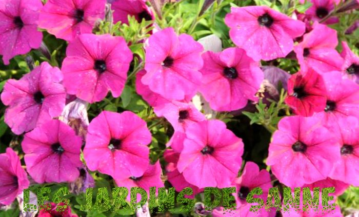 Omsorg for Wave Petunia - Tips for Growing Wave Petunias