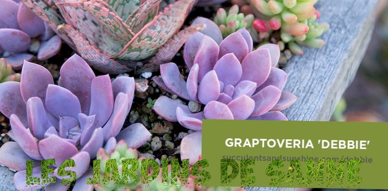 What Is A Graptoveria Succulent - Graptoveria Plant Care And Information