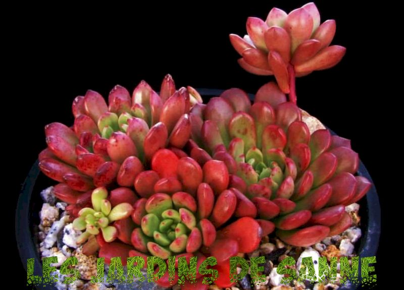 What is A Bashful Graptoveria: Bashful Succulent Care and Growing Krav