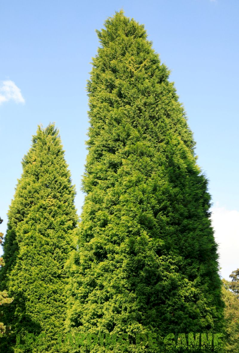 Leyland Cypress Care - Tips for Growing A Leyland Cypress Tree