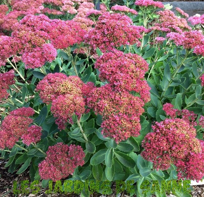 Sedum ' Dragon ' s Blood ' Variety - Growing Dragon ' s Blood Sedum In Gardens