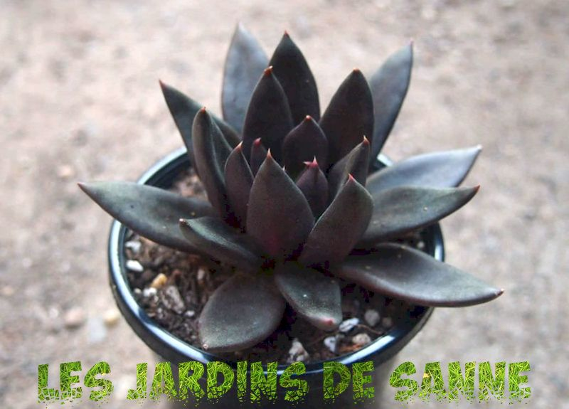 What Is A Black Knight Plant: Lær om Black Knight Echeveria Care