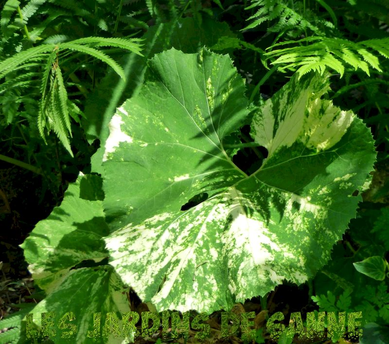 Hva er japansk butterbur - Petasites Japonicus Care And Information