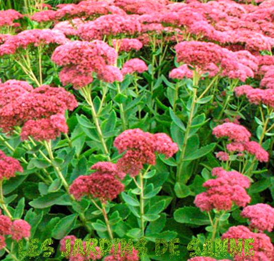 Sedum Autumn Joy Plants: Tips for Growing Autumn Joy Sedums in the Garden
