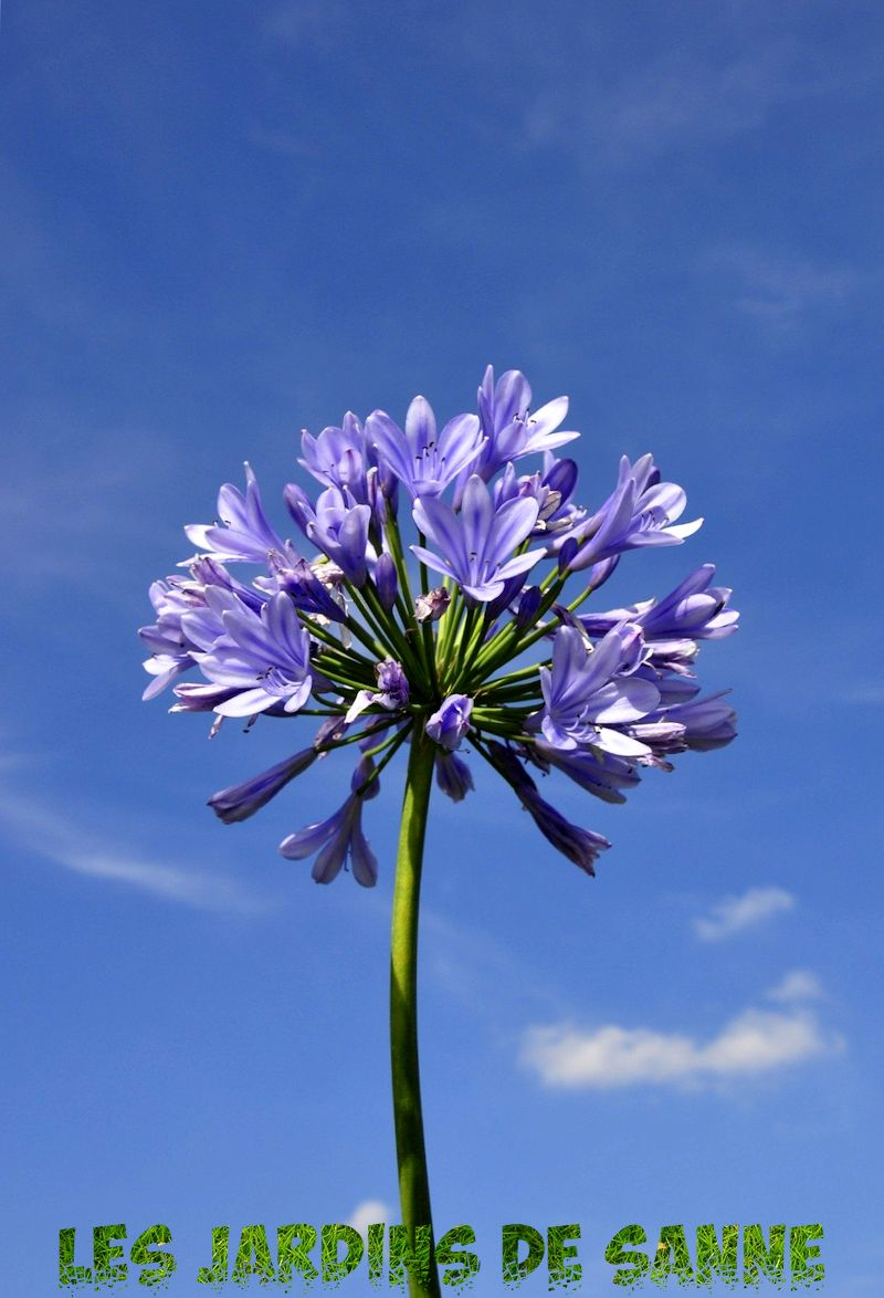 Agapanthus Foglie Gialle agapanthus bloom time – when is agapanthus bloom season