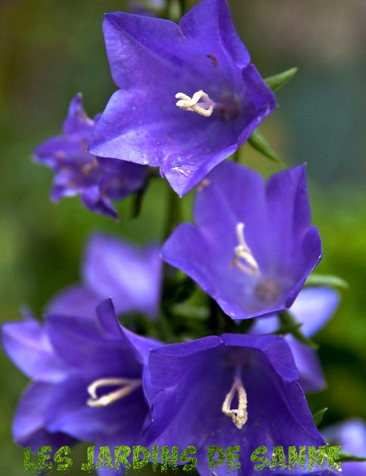 Formering av Campanula: Growing Campanula From Seed