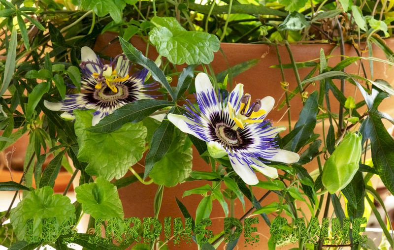 Container Grown Passion Flowers - Guide to Growing Passion Flower in Containers