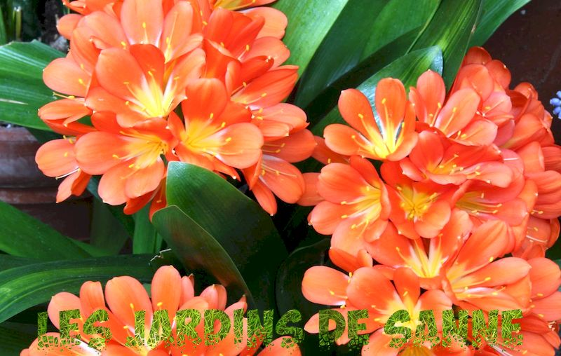 Clivia-planter: Tips om omsorg for Clivia-planter