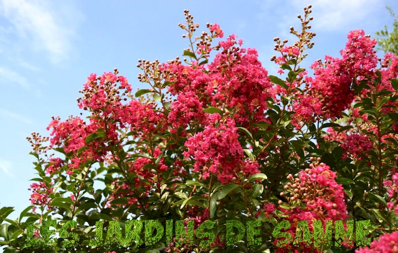 Alternativer til Crepe Myrtles - Er det planter som ligner Crepe Myrtle
