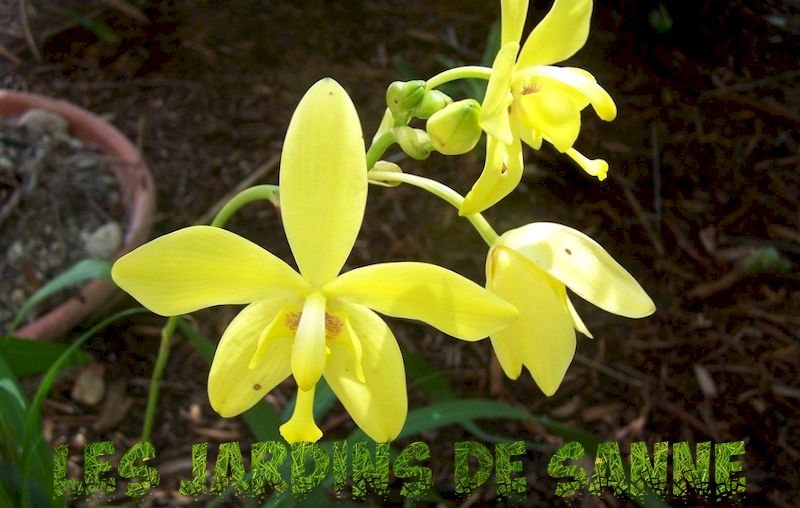 What Is A Spathoglottis Orchid - Information On Ground Orchid Care