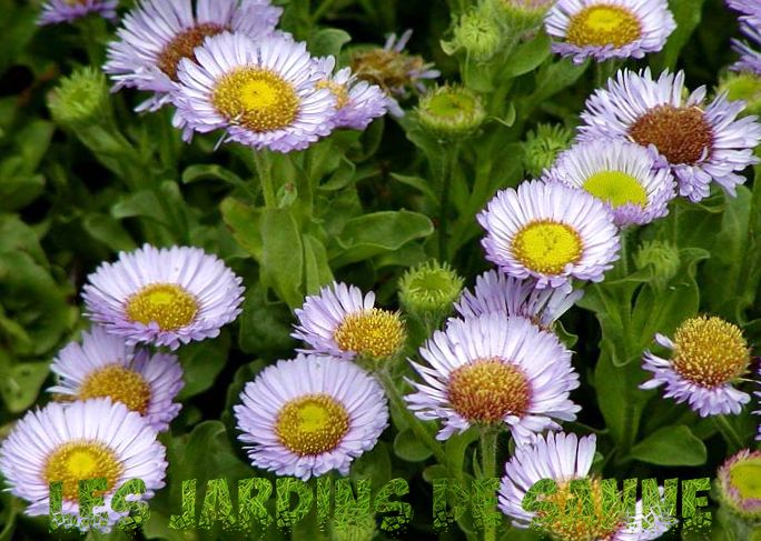 Seaside Daisy Care - Tips om Seaside Daisy Planting In Gardens