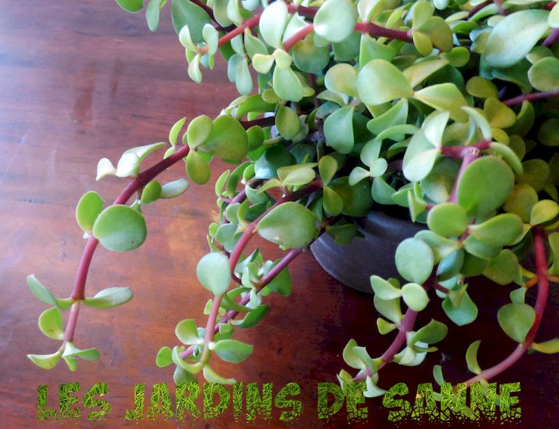 Growing A Rainbow Elephant Bush - Lær mer om Rainbow Bush Care