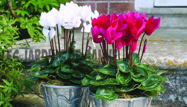 Container Grown Cyclamen: Utendørspleie av Cyclamen In Potter